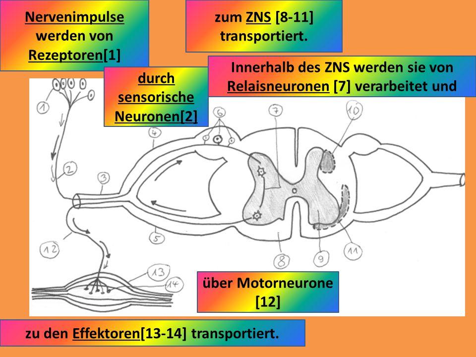 Nervenimpulse werden von Rezeptoren[1] zum ZNS [8-11] transportiert.